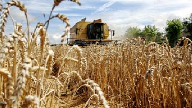 Recolta de grâu va fi mai mică decât se estima inițial
