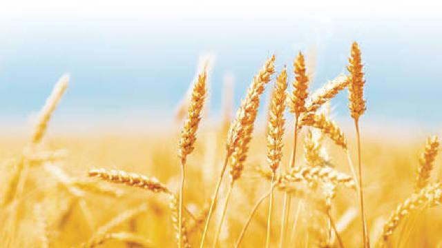 Recolta de grâu va fi mare mare decât anul trecut