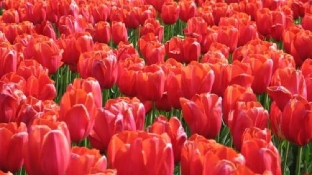 COVOR din peste 15.000 de lalele roşii