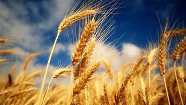 Egiptul a cumpărat 240.000 de tone de grâu din România și Rusia