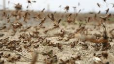 În plină pandemie de coronavirus, două țări se confruntă și cu invazia lăcustelor