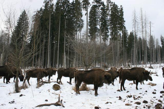 Maluri de Prut | Zimbri în libertate pot fi întâlniți, din nou, în pădurile din România