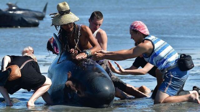 FOTO | Peste 200 de balene pilot au fost salvate, pe o plajă din Noua Zeelandă