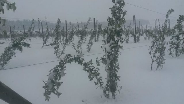 Un exportator din Ucraina va cumpăra pomușoare din R.Moldova după ce a văzut impactul ninsorilor