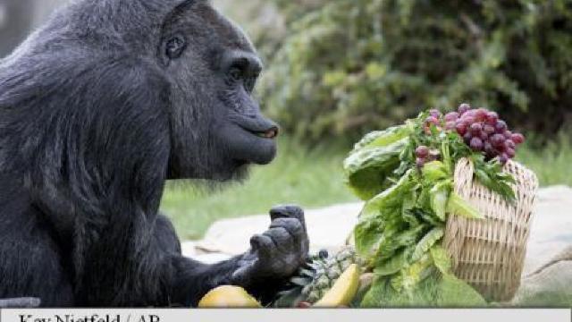Cea mai bătrână gorilă din Europa, sărbătorită la o grădină zoologică din Berlin