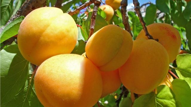 Fructele din R.Moldova au ajuns pe o nouă piață importantă din UE