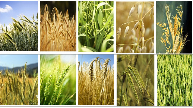 Recolta de grâu și de orz din acest an este mai mare decât cea obținută în anul 2016