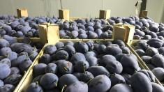 Circa 20 de tone de prune din R.Moldova au fost distruse de către autoritățile din Rusia