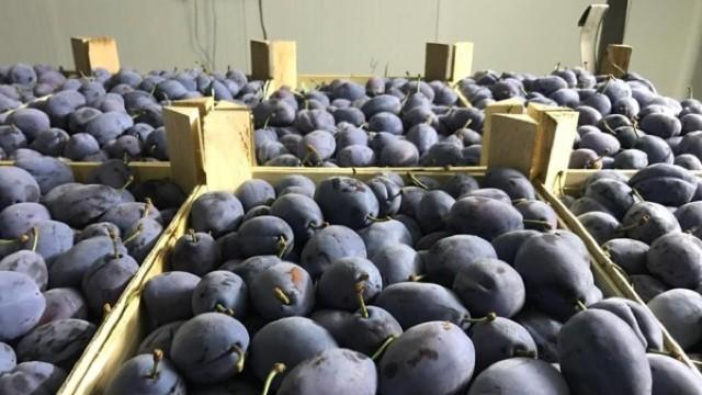 Și prunele moldovenești au ajuns pe rafturile magazinelor din Germania