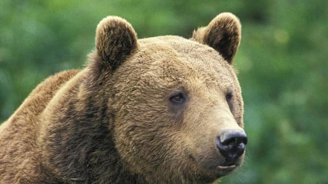 Brașov | Un urs a intrat în cabana Postăvarul. Acesta a fost atras de zahăr și bomboane