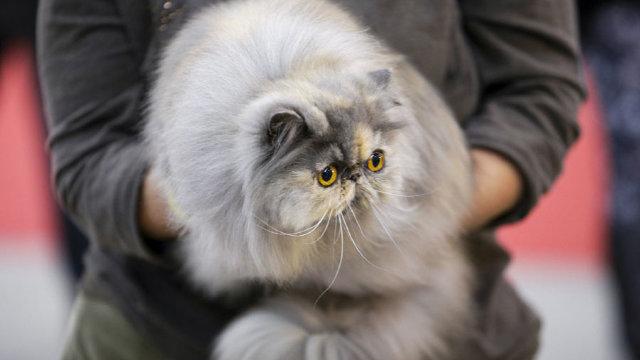 Peste 250 de pisici de rasă vor putea fi admirate la Expoziţia Internaţională Felină de Toamnă – SofistiCAT