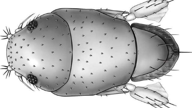 O nouă specie de muscă a fost numită după Arnold Schwarzenegger