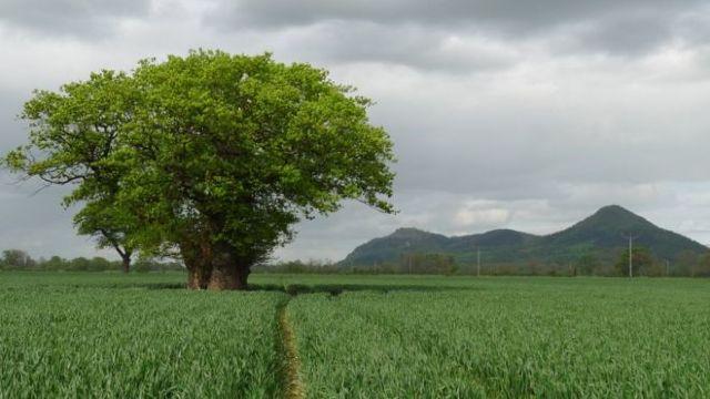 Un stejar de o mie de ani, printre cei mai bătrâni copaci din Ţara Galilor, s-a prăbuşit