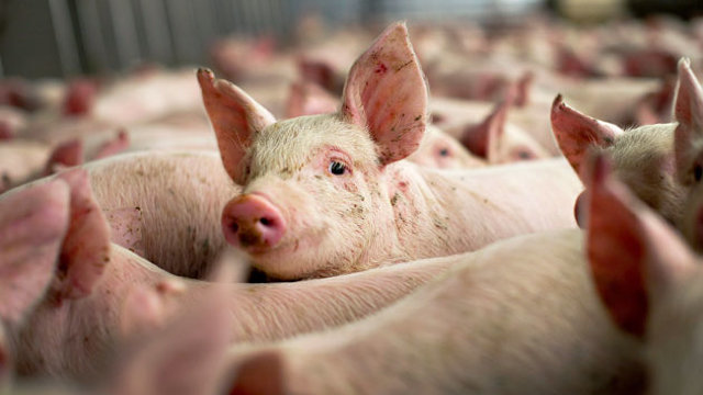 Situația răspândirii virusului de pestă porcină în R.Moldova. Trei localități sunt în stare de carantină