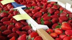 Rusia a interzis importul a circa 18 tone de căpșune din R. Moldova