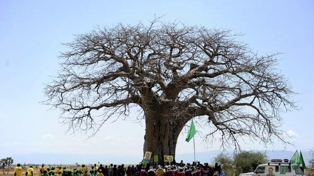 Milenari, cei mai bătrâni baobabi din Africa dispar în mod spectaculos