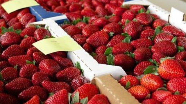 Ploile din mai și iunie au compromis exportul de căpșune