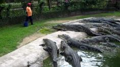 O mulțime de furioși au ucis 300 de crocodili într-o crescătorie din Indonezia