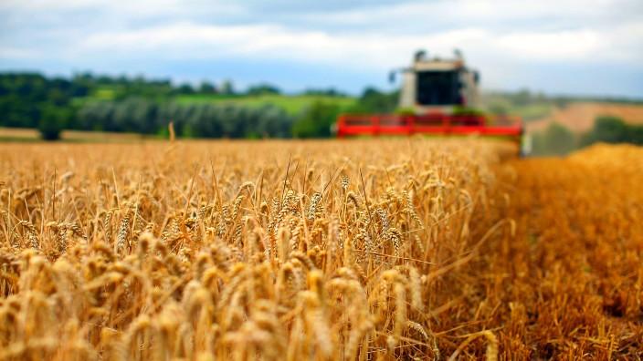 Recolta redusă, din cauza ploilor, nu poate provoca o criză de grâu în Republica Moldova, afirmă autoritățile