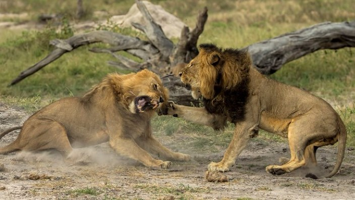 Braconieri de coarne de rinocer, devoraţi de lei într-o rezervaţie din Africa de Sud