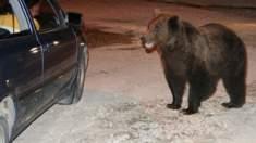 Un autocamion a accidentat un urs în apropiere de Sibiu