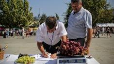 """""""Strugurele gigant"""" se va vinde la Festivalul Național al Strugurelui în Cimișlia. Cel mai scump a costat peste trei mii de lei"""