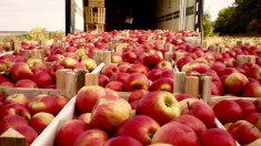 20 de tone de mere din R.Moldova, interzise în Federația Rusă