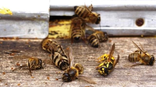Republica Moldova interzice utilizarea a trei insecticide periculoase pentru albine, dar oferă un an pentru utilizarea stocurilor