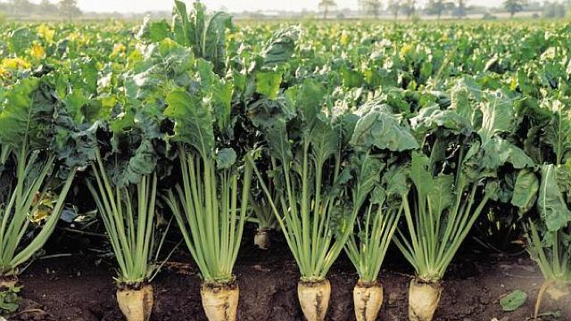 Ministerul Agriculturii prognozează în acest an o recoltă mai mare de sfeclă de zahăr decât anul trecut
