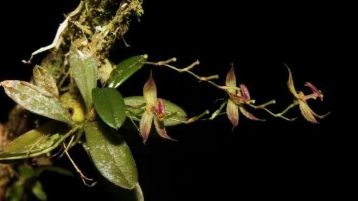 O nouă specie de orhidee în pădurea tropicală amazoniană din Peru