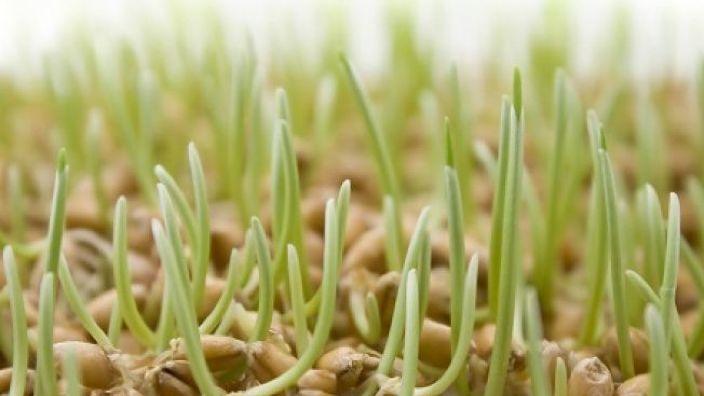 STUDIU | Descoperire într-un bob de grău care ar oferi soluţii pentru hrănirea populaţiei în creştere a globului