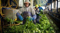 Germania va primi zeci de mii de muncitori sezonieri străini pentru strângerea de fructe și legume