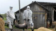 Situația privind răspândirea pestei porcine devine agravantă. Ce măsuri vor întreprinde autoritățile