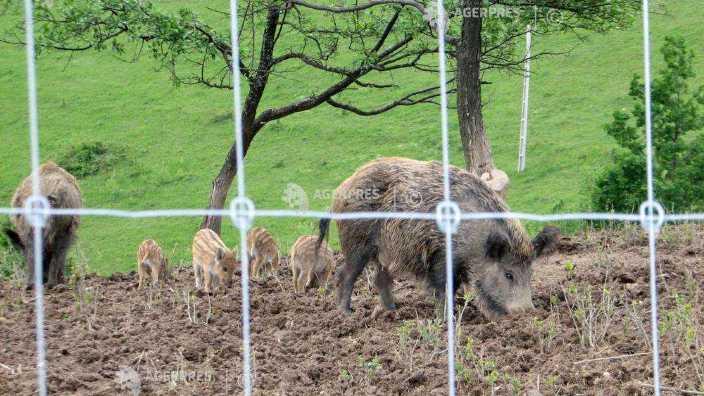 Mai multe cazuri de pestă porcină africană au fost confirmate în Belgia