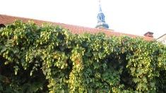Municipalitatea din Paris a lansat un proiect care vizează cultivarea hameiului pe faţadele şi zidurile oraşului