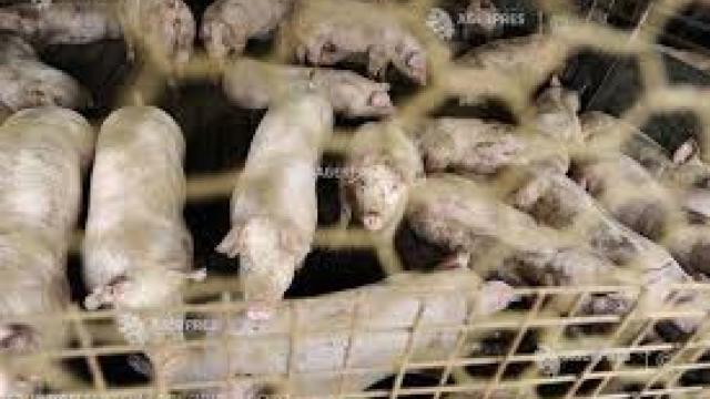 Franţa va ridica garduri de-a lungul graniţei sale cu Belgia, pentru a preveni răspândirea pestei porcine