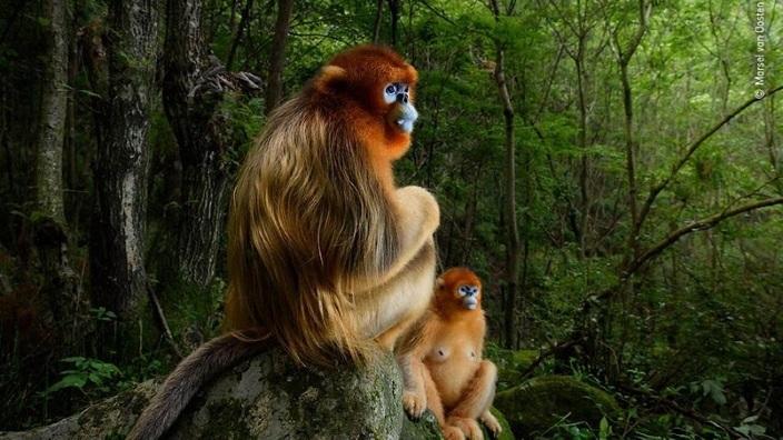 Wildlife Photographer of the Year | Fotografia cu două maimuțe aurii a obținut marele premiu
