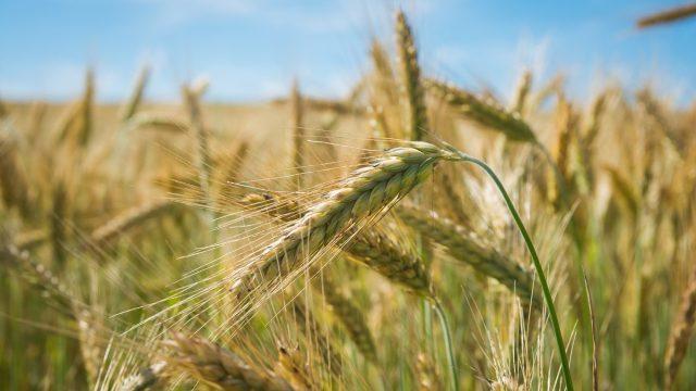 Rusia caută să pătrundă pe piețele de cereale controlate tradițional de Uniunea Europeană și SUA
