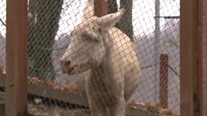VIDEO | Un măgar alb cu ochi albaștri s-a născut la Reșița, România