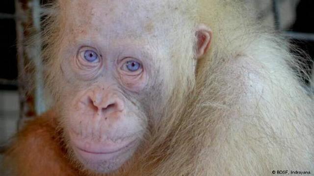 Un urangutan albinos rarisim, eliberat în junglă în Indonezia