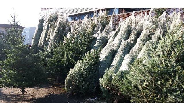 Vânzarea Pomilor de Crăciun sporește după 20 decembrie