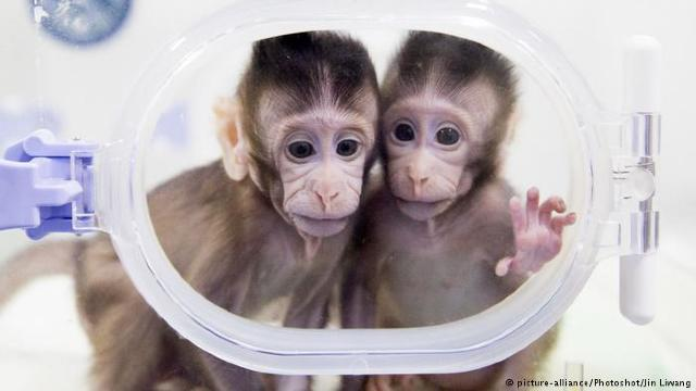 Experiment îngrijorător, clonarea a cinci maimuţe dintr-un singur macac pentru cercetări medicale