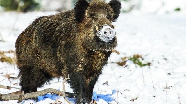 Guvernul de la Varșovia neagă intenția de a ucide aproape toți porcii mistreți din Polonia