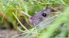 Un rozător din Australia, primul mamifer dispărut din cauza schimbărilor climatice