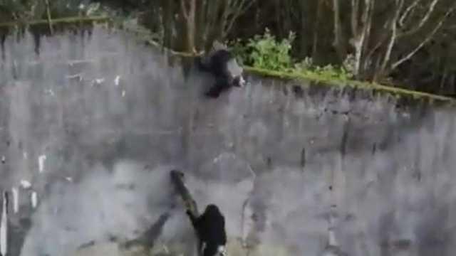 VIDEO | Cimpanzeii au încercat să evadeze cu ajutorul unei crengi de copac de la grădina zoologică din Belfast
