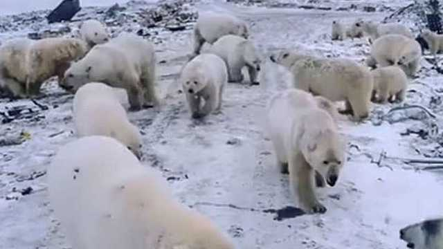 Armata rusă va apăra un oraș din Arctica de urșii polari înfometați
