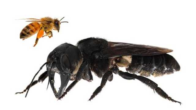 Cea mai mare albină de pe Pământ a fost redescoperită în Indonezia, după 38 de ani
