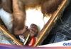 Un rus reţinut pe aeroportul Ngurah Rai, din Bali, cu un urangutan drogat în valiză