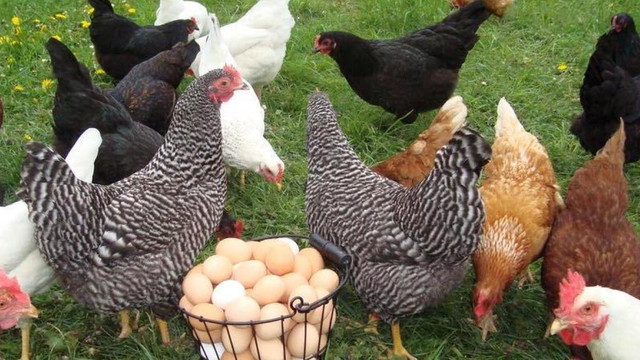Ouăle și carnea de pasăre din Moldova nu vor ajunge în UE nici în acest an (Mold-Street)