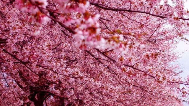 Într-un parc din Capitală vor fi plantați cireși japonezi